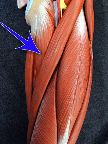 Selected Human Muscles With Their Functions (Images) flashcards ...