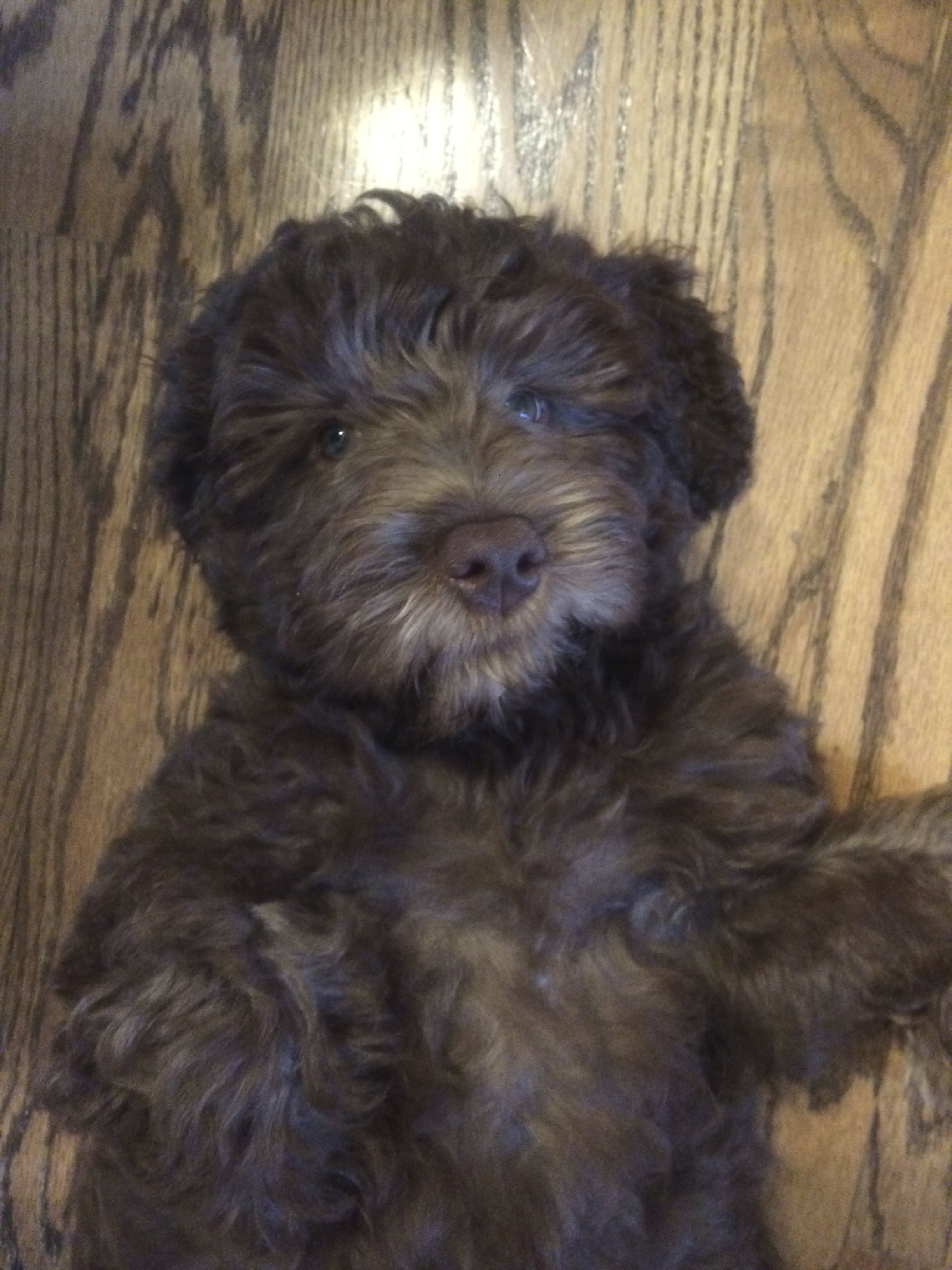 Australian Labradoodle Puppy Named Leo From Melorich Com Labradoodle Australian Labradoodle Puppies Labradoodle Puppy