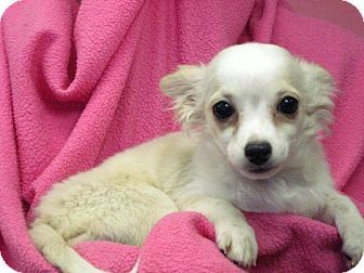 Chihuahua Puppy For Adoption In St Louis Missouri Paco