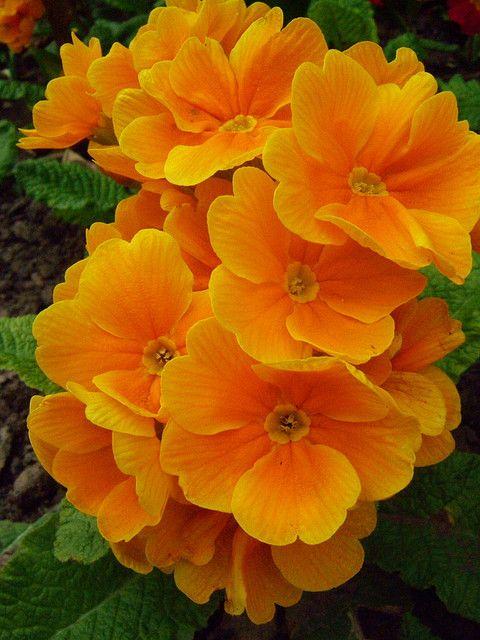 Orange Primrose 002   Amazing flowers Beautiful flowers ...