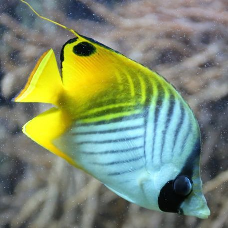 'Threadfin Butterflyfish' by stine1 on artflakes.com as poster or art print $16.63