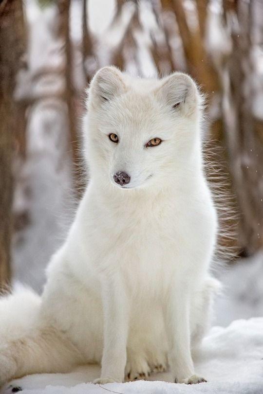 Arctic Fox by Hisham Atallah | #23 ANIMALS | Pinterest | Animales ...