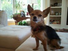 Little Mac is an adoptable Chihuahua Dog in Dayton, OH. My name is Little Mac! I am a Chihuahua/Yorkie mix. I weigh 5 lbs. and my birthday is October 14 2005. I am cute, sweet and snuggly. I want noth...