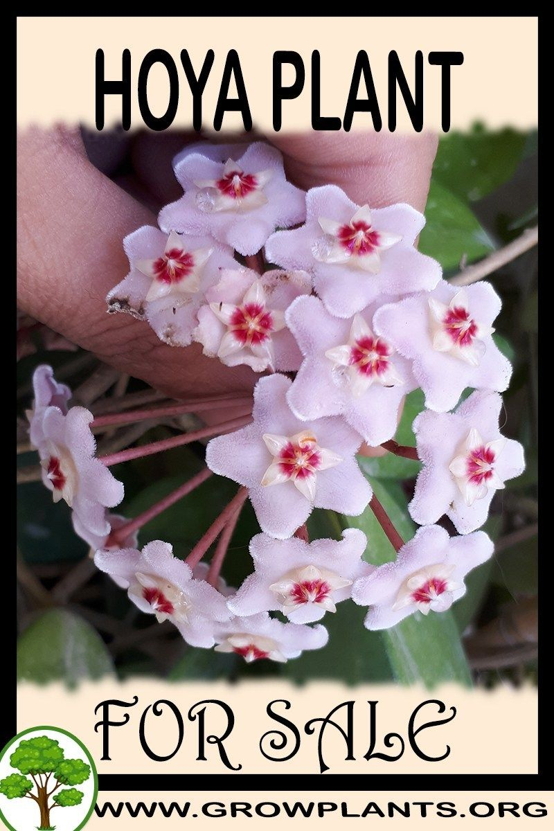 Hoya Plant For Sale Gardening All Need To Know Before Buy This