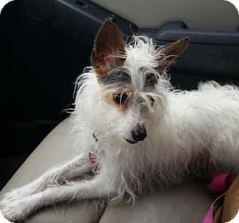 Chinese Crested Rat Terrier Mix Dog For Adoption In Providence Rhode Island Ali Js