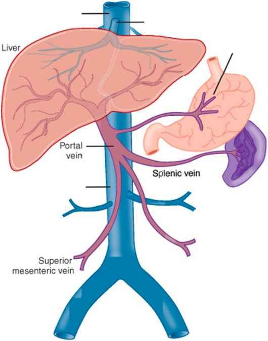 Portal Vein And Splenic Vein Anatomy Anatomynote Anatomy