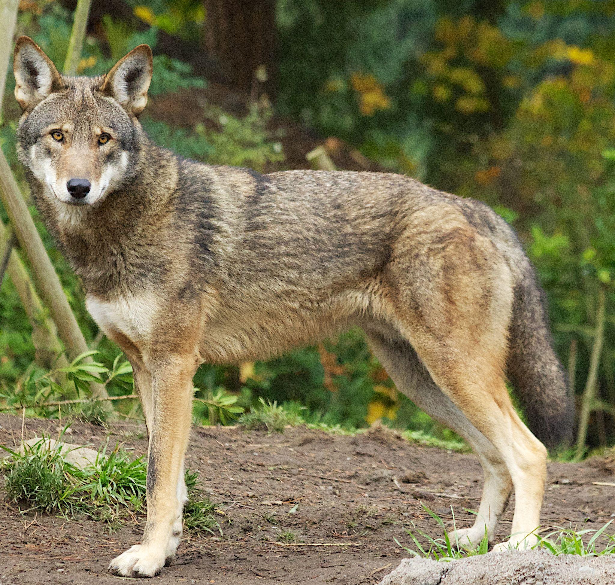 виды волков список и фото того, могут