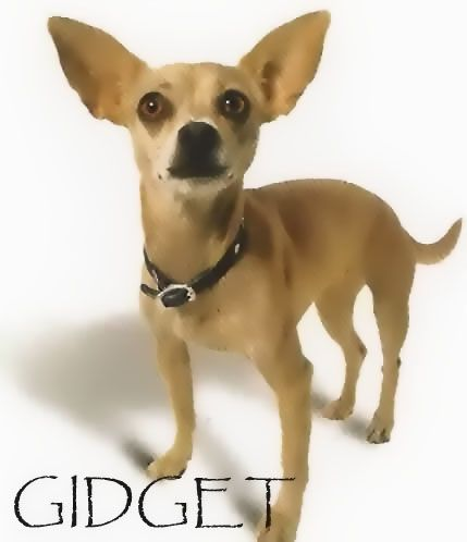 Gidget The Taco Bell Dog Animal Tv Puppy Day Chihuahua Dogs