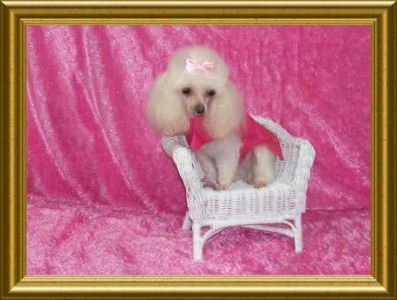 Best Dog Breeds For Elderly People Mini Poodles Red Poodles Poodle
