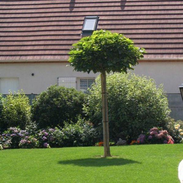 Catalpa De Caroline Nain Un Petit Arbre Pour Petit Jardin Arbres Pour Petit Jardin Jardins Petits Jardins