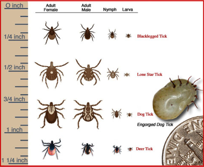 FYI know your ticks Tick species that transmit Lyme Disease