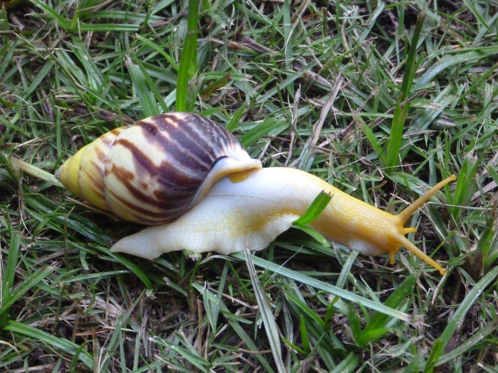 gele gewei-slak komt ook voor in Suriname
