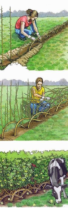 Living Fences – How To Make A Living Fence For Your Garden ...