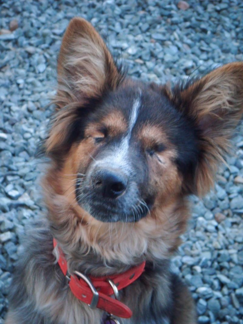 I found Iris on Dogs, Australian shepherd, Animal rescue