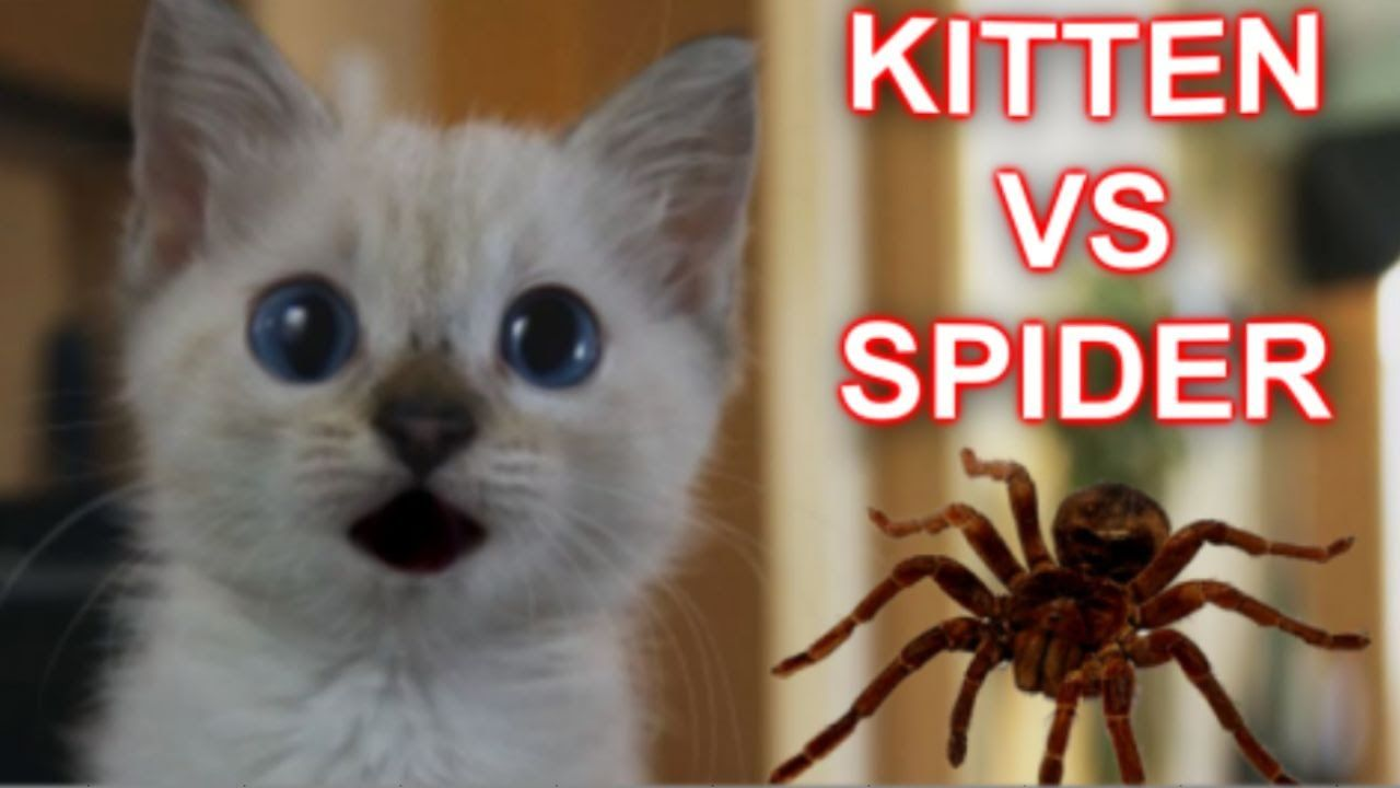 A Tiny Siamese Kitten Named Wampa Cautiously Stalks A Giant Remote Controlled Black Spider Before Gathering Up All Kittens Cutest Siamese Kittens Kittens Funny