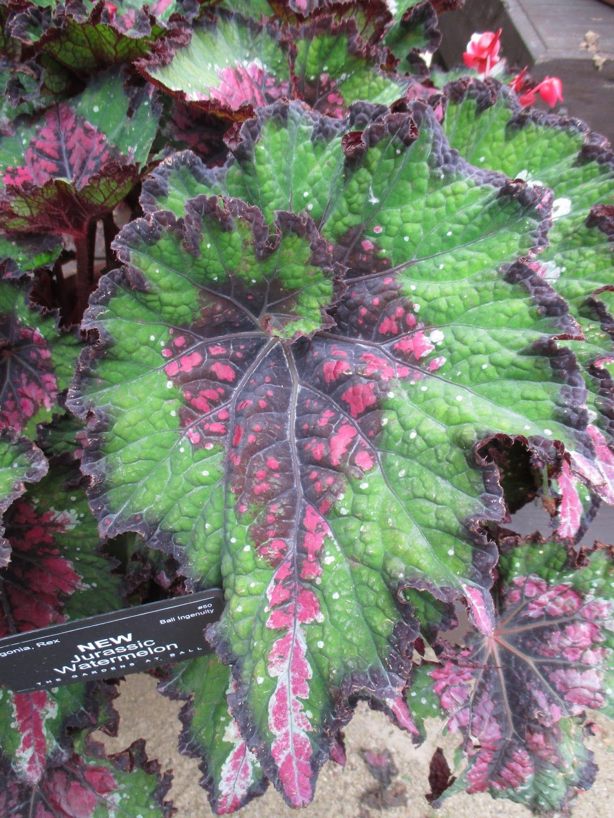 Jurassic Rex Begonias With Images Begonia Plants Foliage Plants