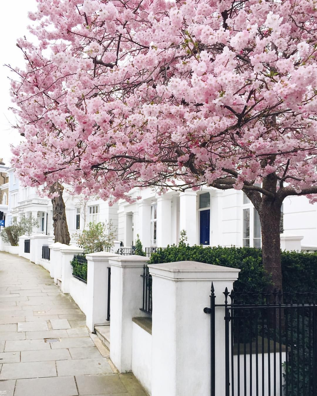 Notting Hill London Notting Hill London Blossom Trees Cherry Blossom Tree