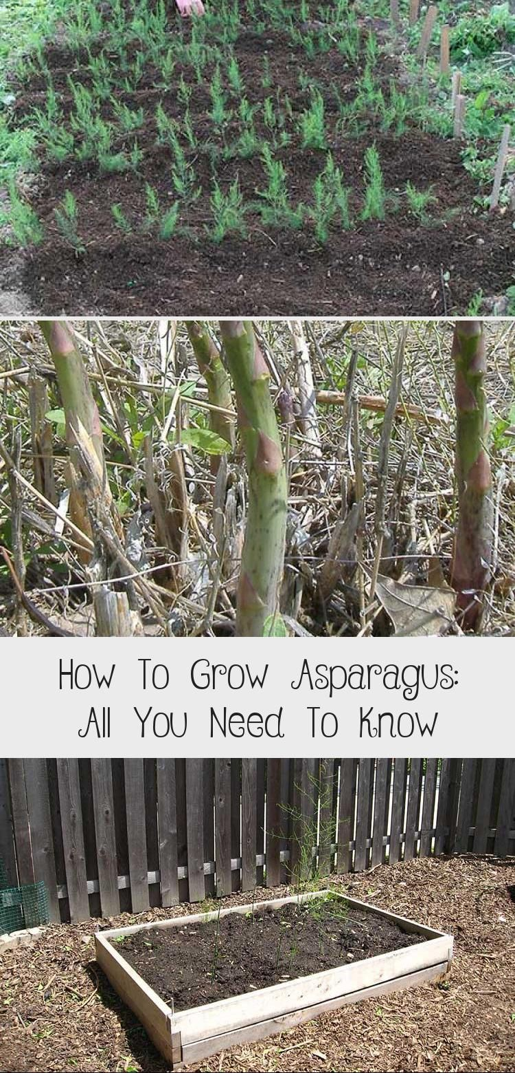 How To Grow Asparagus: All You Need To Know in 2020 ... Planting Asparagus In The Fall