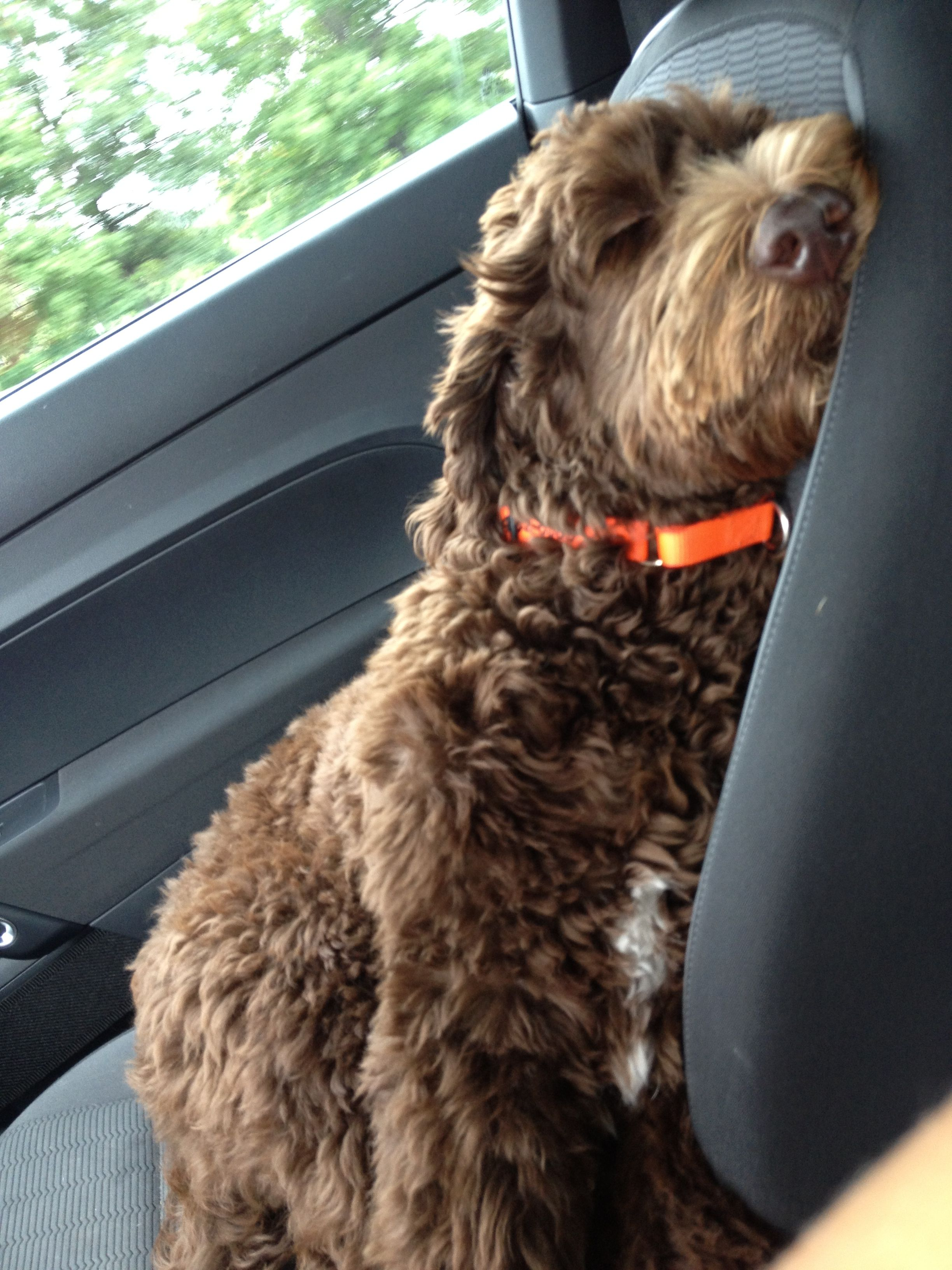 Lincoln Sleeping In The Car Lol Labradoodle Dogs Animals