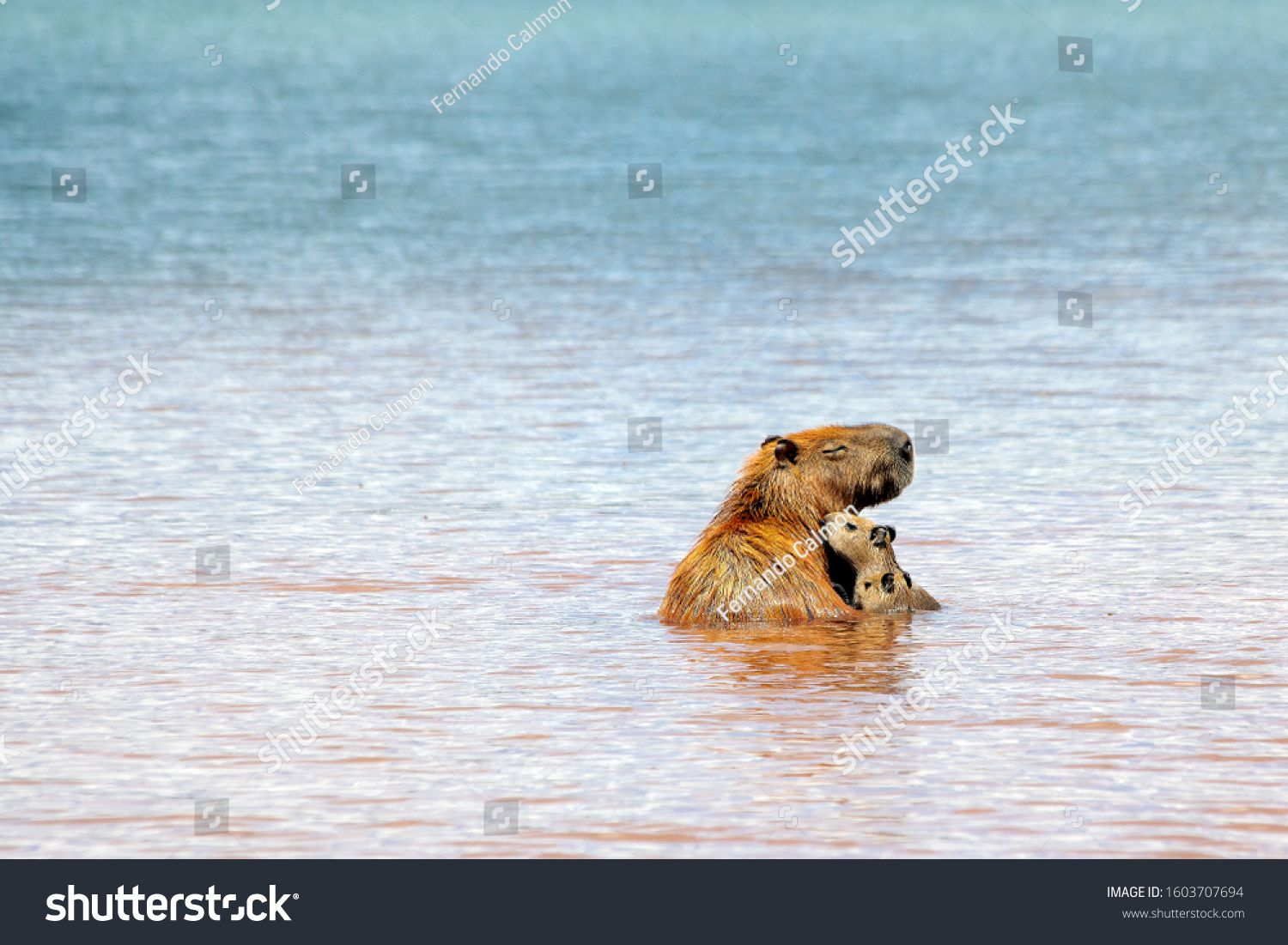 A capybara mother bathing with her children inside Parano¨¢ Lake in Brasilia, Brazil. The capybara is the largest rodent in the world. Species Hydrochoerus hydrochaeris. Wildlife. Cerrado #Ad , #Affiliate, #Lake#Parano#Brazil#Brasilia