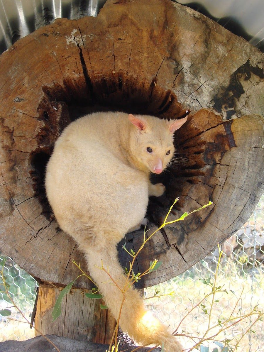 adorable golden brushtail possum - 736×981