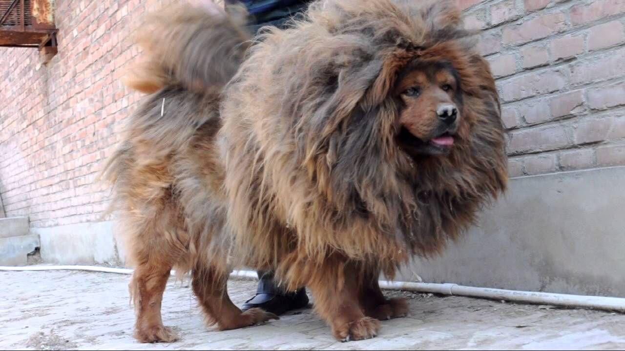 Tibetan Mastiff Tibetan Mastiff Mastiffs Mastiff Puppies