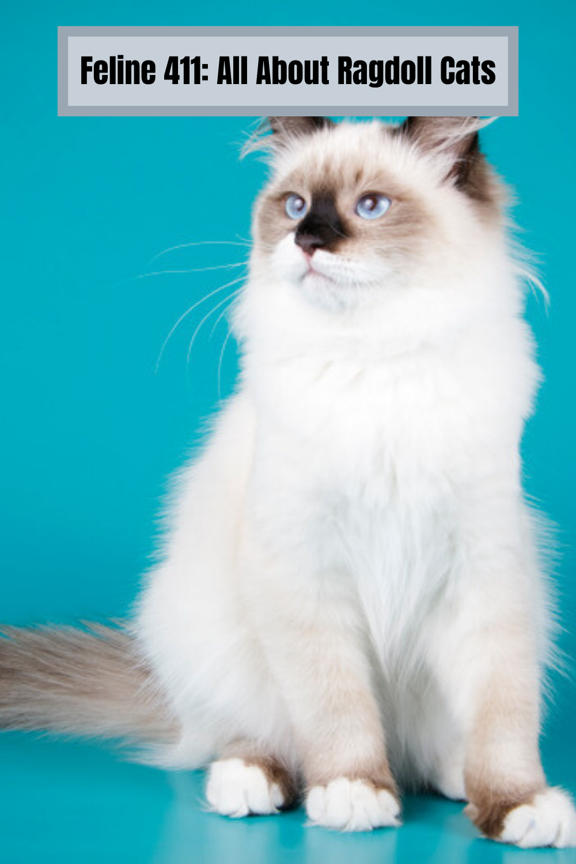 Feline 411 All About Ragdoll Cats In 2020 Ragdoll Cat Cats Cat Breeds Ragdoll