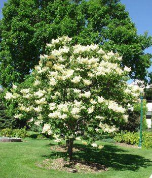 Khs Plant Library Syringa Reticulata Ivory Silk Ivory Silk Lilac Lilac Tree Japanese Lilac Tree Ornamental Trees