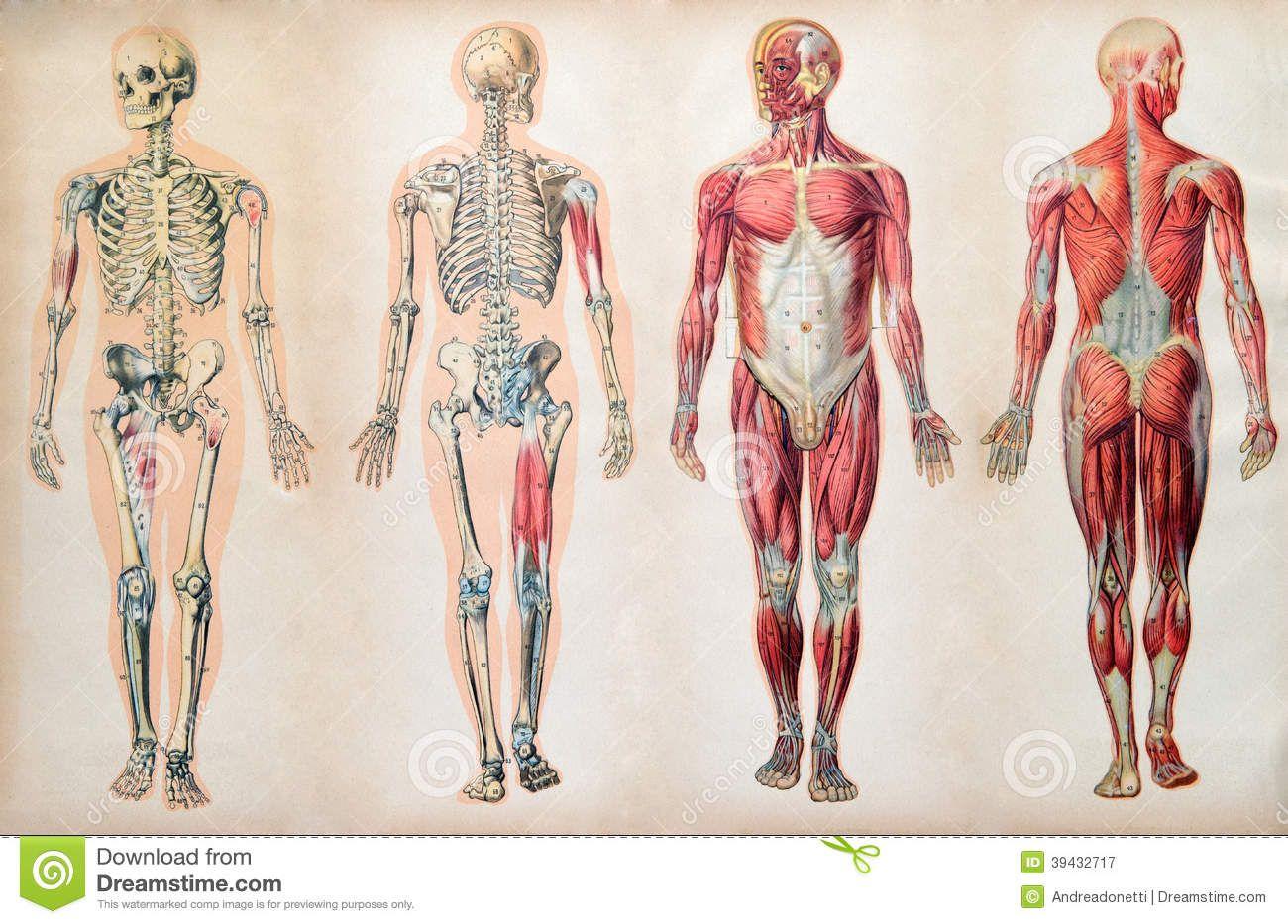 Old Human Anatomy Illustrations Google Search Ban Pinterest