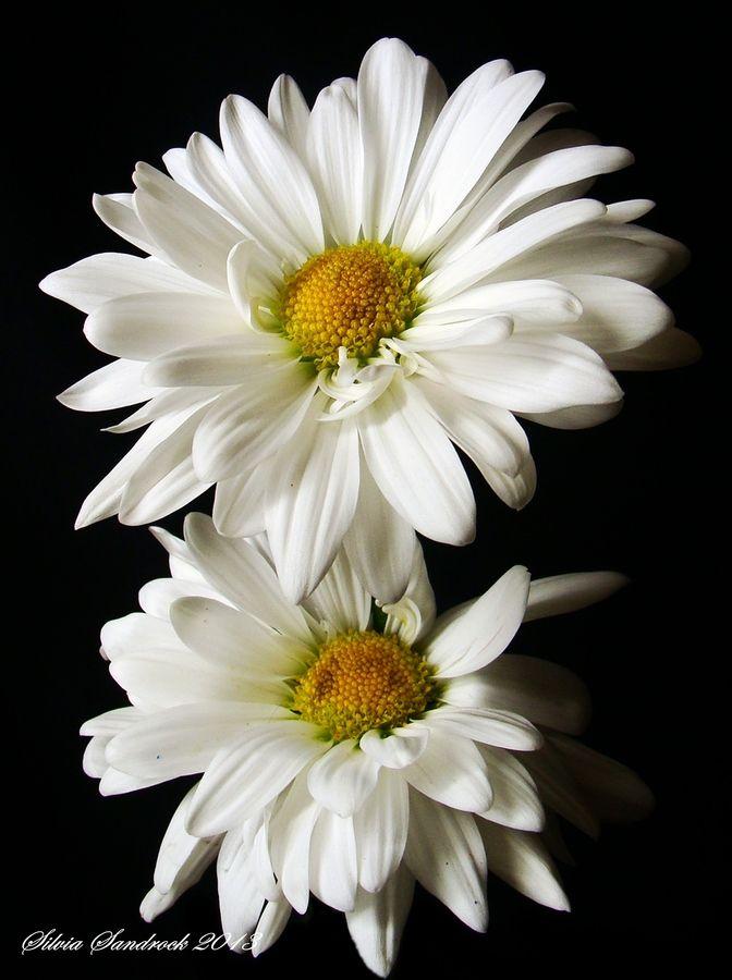 Simply daisies