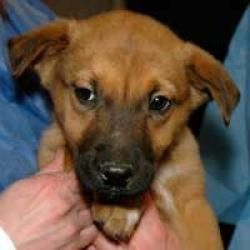 Segar is an adoptable Husky Dog in Lakewood, CO. Segar is an 8 week old husky/shepherd mix that was saved from death row. He was dropped off at the local municipal shelter with his siblings and mother...