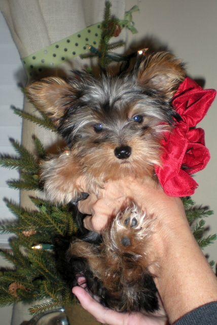 My Yorkie Puppy Christmas Yorkshire Terrier Puppies Yorkie