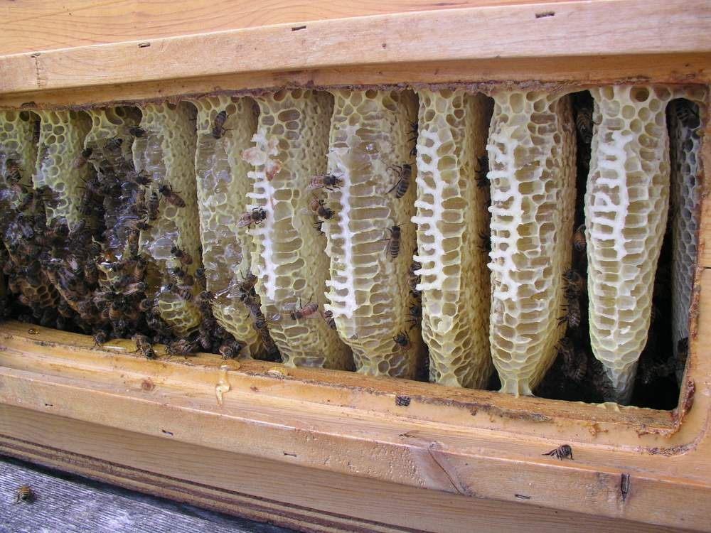 Top Bar Hive Full Of Sealed Honey Combs.