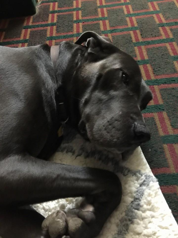 One Big Great Dane From Louisiana To Hawaii Via Ground And Air In