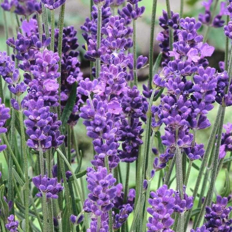 Lavandula Angustifolia Aromatico Blue Echter Lavendel Aromatico Blue 1a Qualitat Direkt Vom Gartner 1a Garten Amme Lavendel Echter Lavendel Pflanzen