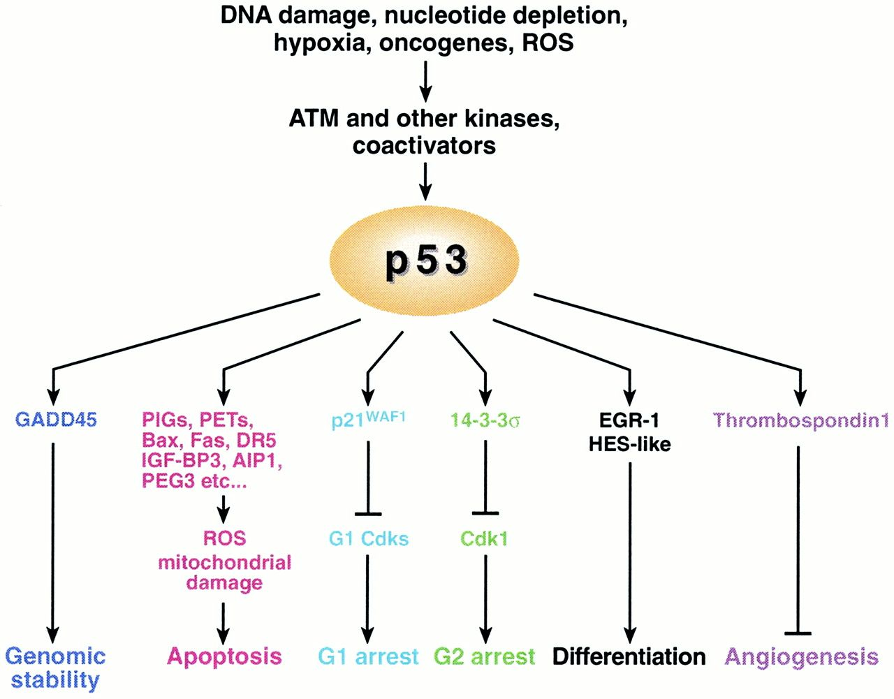 P53 And Dna Damage