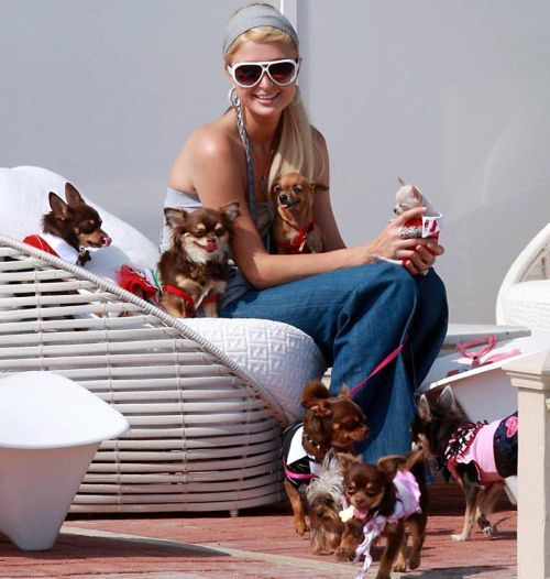 So Jello Paris Hilton Dog Prince Chihuahua