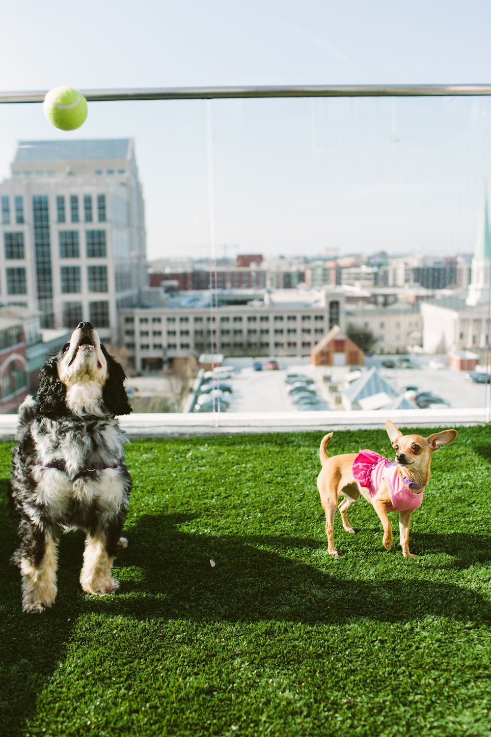 Greenville Humane Society Rooftop Dogs At Aloft Hotel Lifestyle Photographer Greenville Wedding Poses