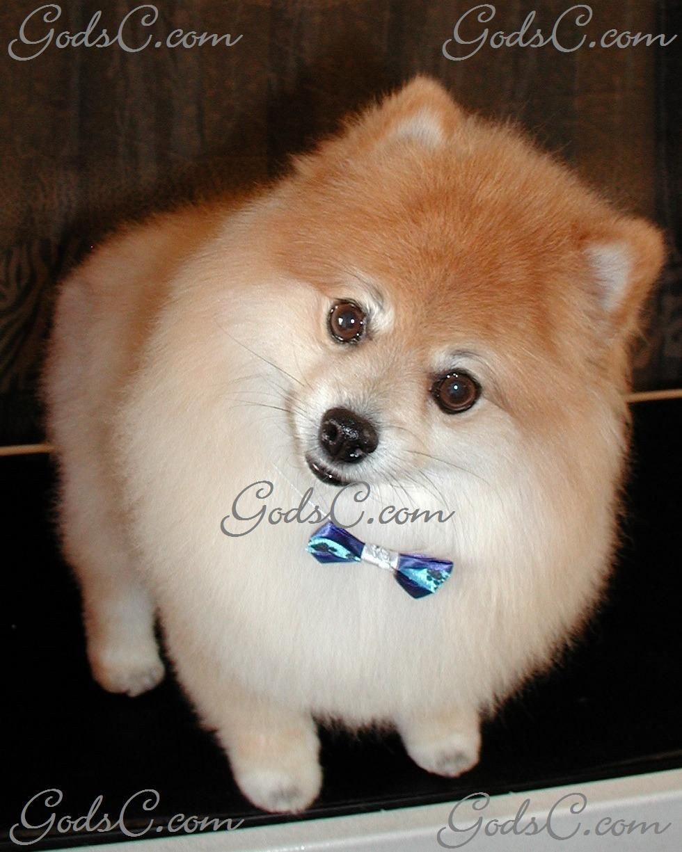 Pomchi Haircuts Google Search