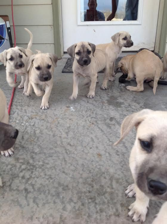 Litter Of 8 Black Mouth Cur Puppies For Sale In Saragosa Tx Adn
