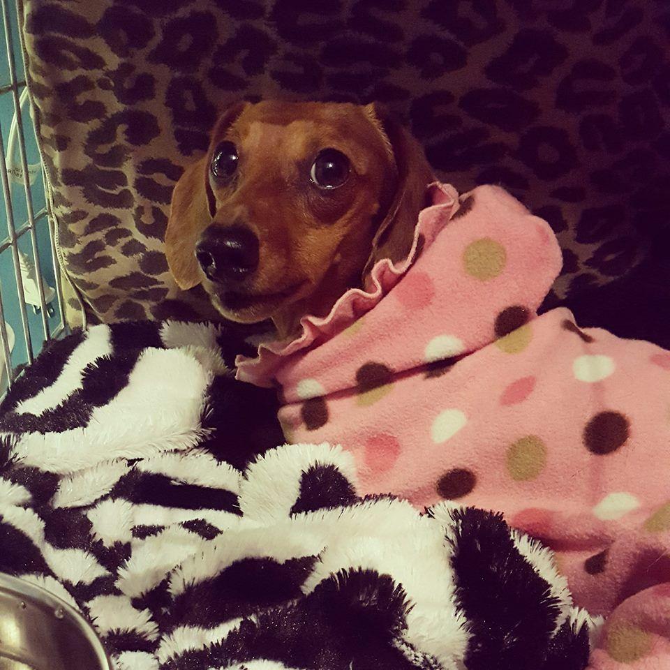 Gracie Weenie Dogs Dachshund Animals Pets