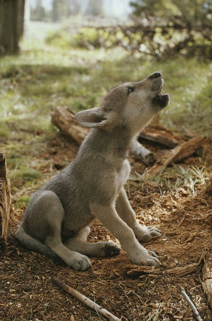 Perfecting Her Howl