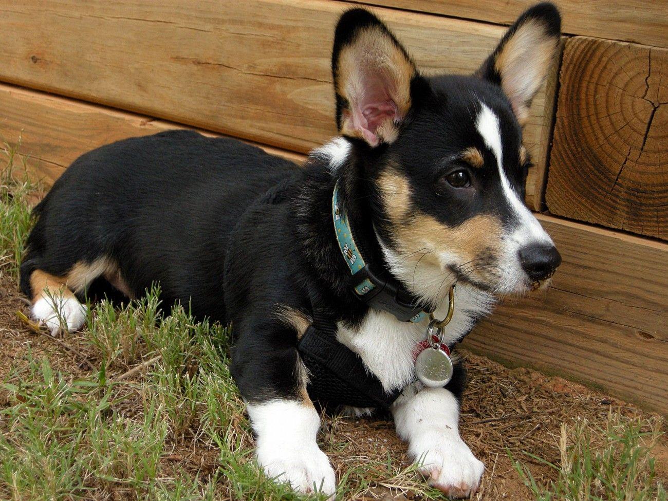 Black And White Corgi Chihuahua Puppies Pembroke Welsh Corgi Corgi Black And White Corgi