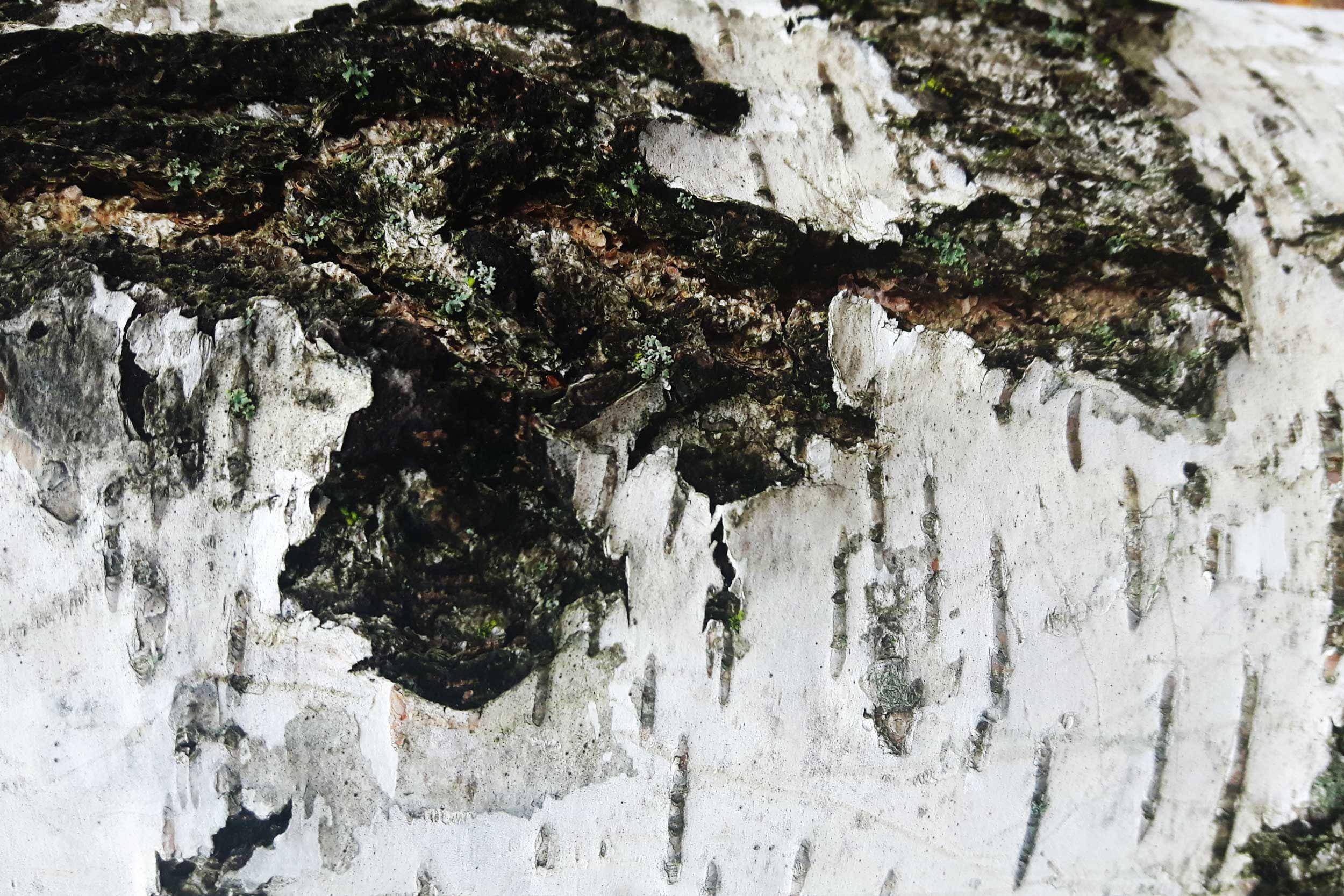 Birke Rinde Betula Pendula Die Strukturen Von Baumrinden Fallen Besonders Im Winter Auf Garden Tree Bark Birch Garten Baumrinde Naturfarben Natur