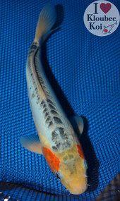 11 Shusui Koi Fish 9341q5 Koi For Sale Blue Koi Koi