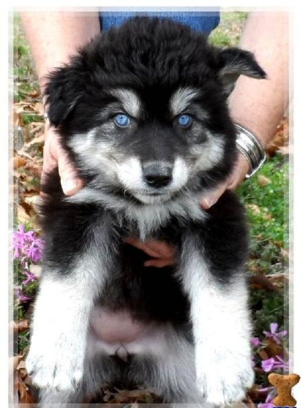 Black wolf hybrids for sale | RARE BLUE / SILVER WOLF HYBRID