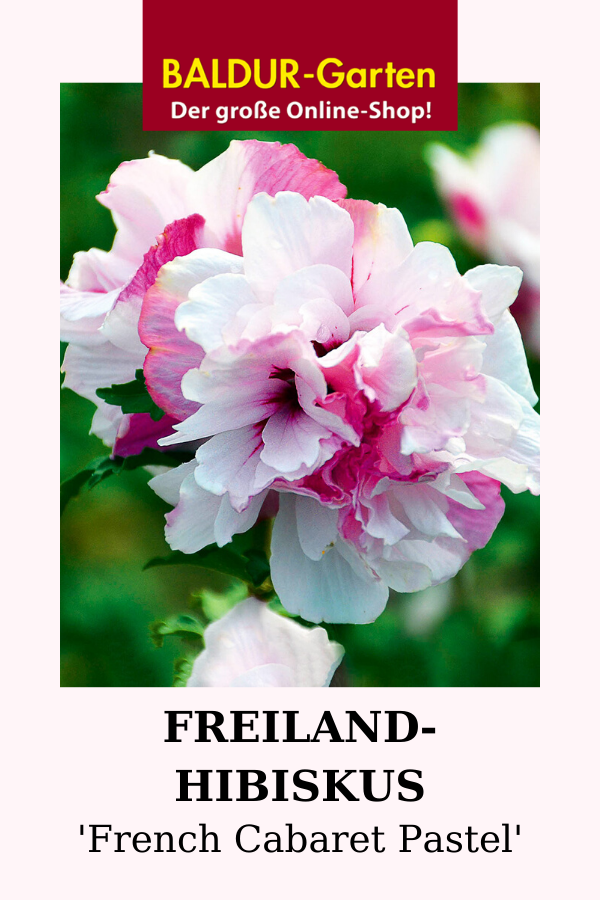 Freiland Hibiskus French Cabaret Pastel Baldur Garten In 2020 Hibiskus Blutenhecke Pflanzen