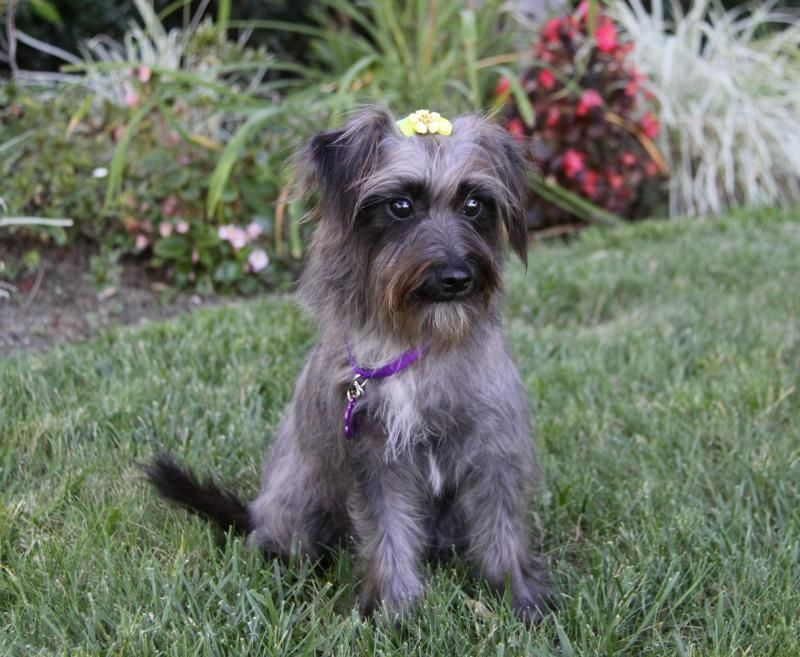 Adopt Tyra On Yorkshire Terrier Yorkshire Terrier Funny Yorkie Yorkshire Terrier