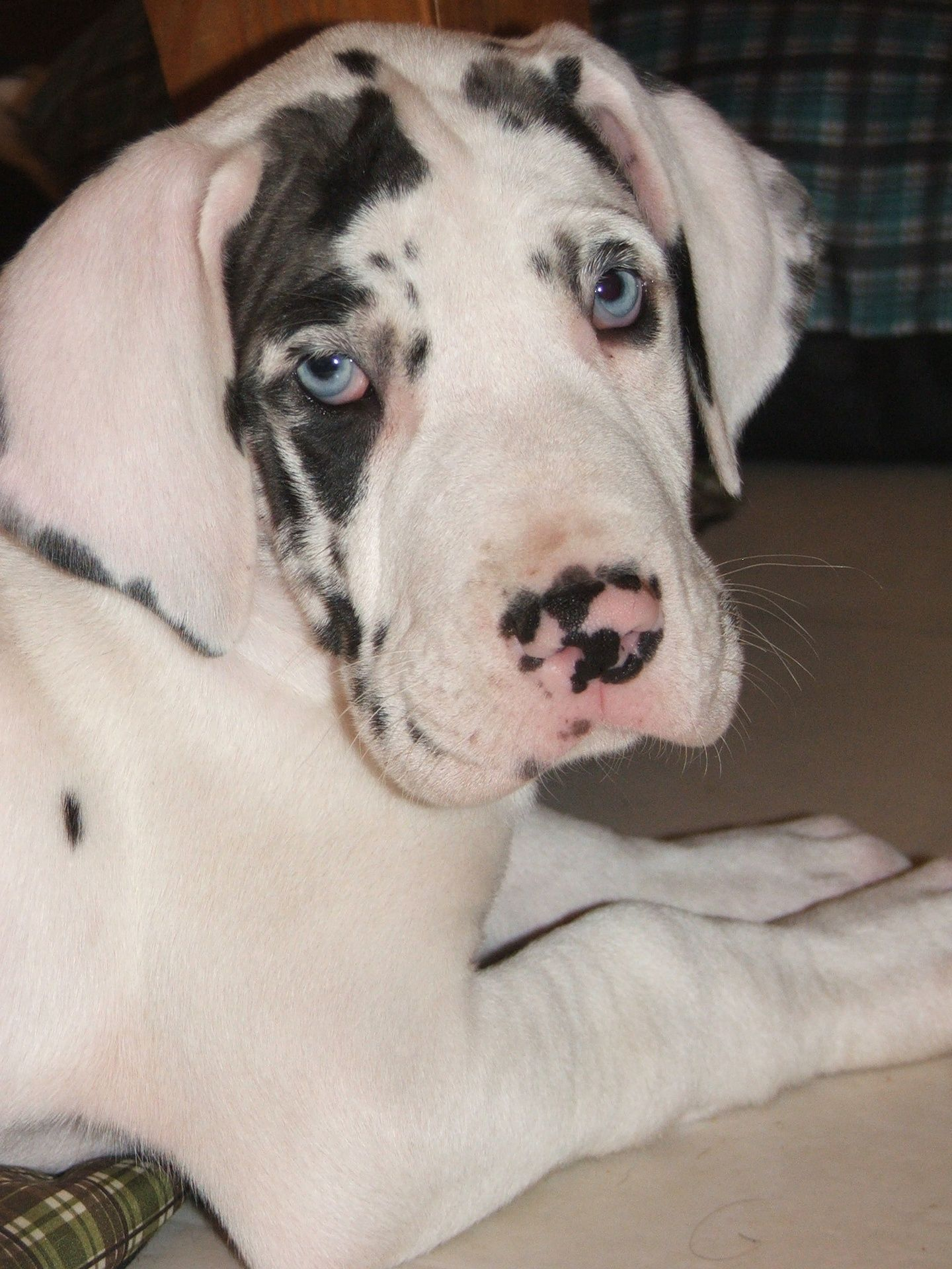Harlequin Great Dane Puppy Like My Cheyenne When She Was A Pup