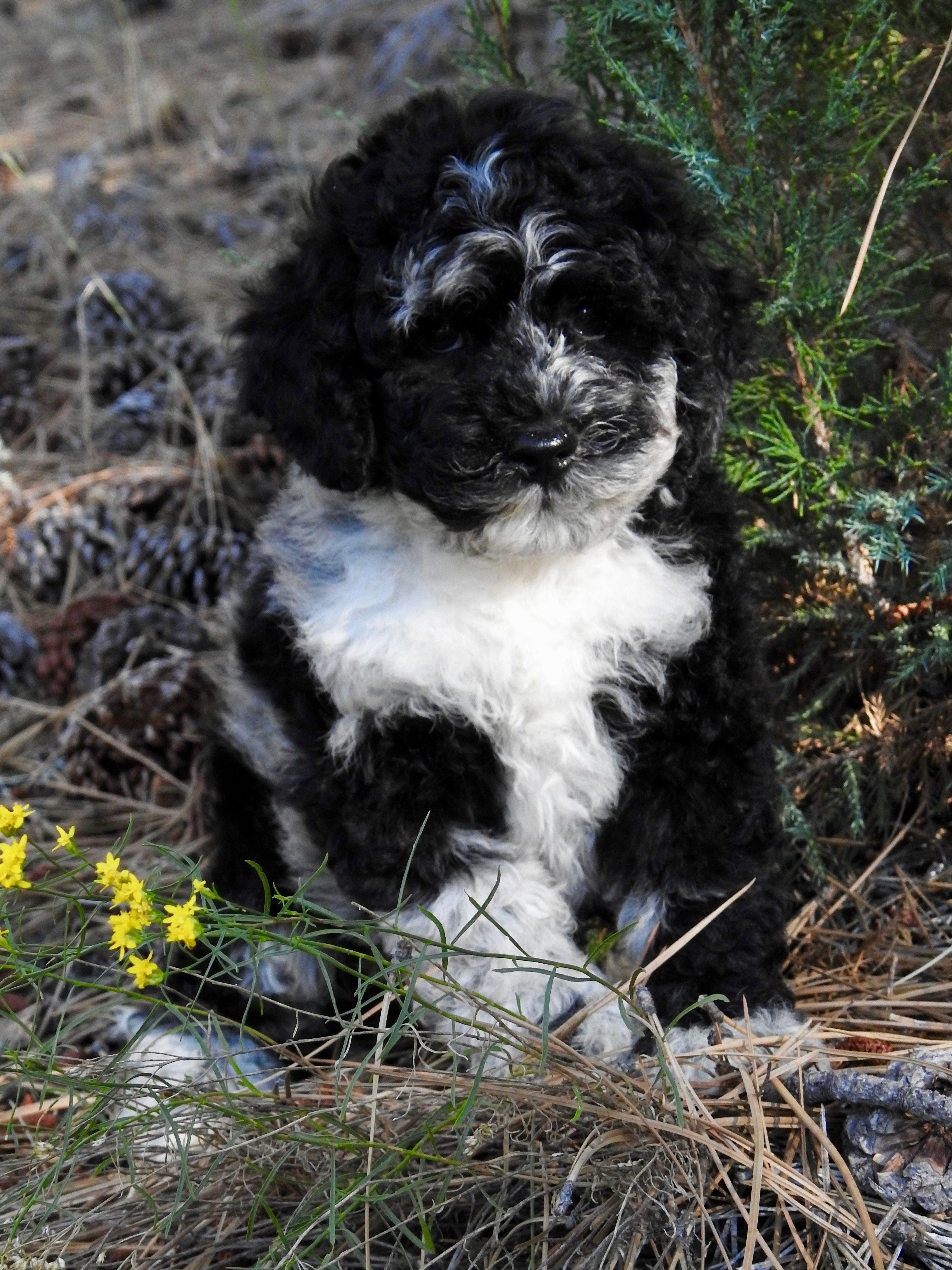 Black Blue Merle Mini Australian Labradoodle Puppy Labradoodle Labradoodle Puppy Australian Labradoodle Puppies